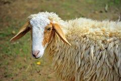 Πρόβατα στο αγρόκτημα, Ταϊλάνδη Στοκ Φωτογραφία