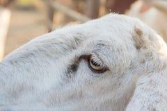 Πρόβατα στο αγρόκτημα Στοκ εικόνα με δικαίωμα ελεύθερης χρήσης