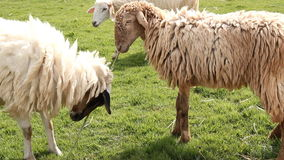 Πρόβατα στο αγρόκτημα απόθεμα βίντεο