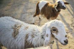 Πρόβατα στο αγρόκτημα Στοκ Εικόνα