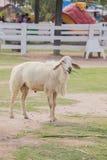 Πρόβατα στο αγρόκτημα Στοκ φωτογραφία με δικαίωμα ελεύθερης χρήσης