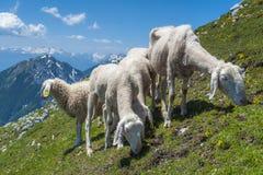 Πρόβατα στο βουνό Στοκ εικόνες με δικαίωμα ελεύθερης χρήσης