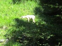 Πρόβατα στο δάσος στοκ εικόνα με δικαίωμα ελεύθερης χρήσης