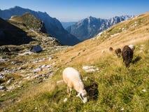 Πρόβατα στο λιβάδι βουνών Στοκ εικόνες με δικαίωμα ελεύθερης χρήσης