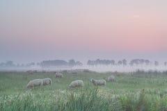 Πρόβατα στο λιβάδι στην ομίχλη πρωινού Στοκ εικόνες με δικαίωμα ελεύθερης χρήσης