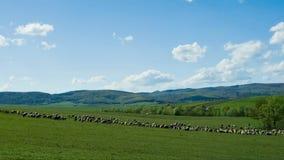 Πρόβατα στο λιβάδι απόθεμα βίντεο