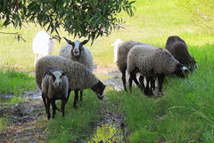 Πρόβατα στο λιβάδι Στοκ Εικόνα