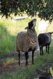 Πρόβατα στο λιβάδι Στοκ Εικόνες