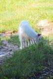 Πρόβατα στο λιβάδι Στοκ Φωτογραφίες