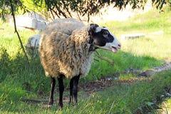 Πρόβατα στο λιβάδι Στοκ εικόνες με δικαίωμα ελεύθερης χρήσης