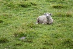 Πρόβατα στο καλλιεργήσιμο έδαφος Στοκ φωτογραφία με δικαίωμα ελεύθερης χρήσης