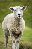 Πρόβατα στο καλλιεργήσιμο έδαφος Στοκ Εικόνα