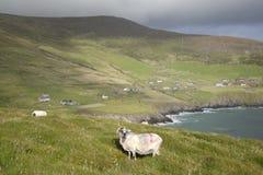 Πρόβατα στο κεφάλι Slea, Dingle χερσόνησος Στοκ Εικόνες