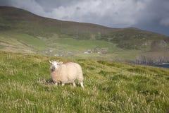 Πρόβατα στο κεφάλι Slea, Dingle χερσόνησος Στοκ φωτογραφία με δικαίωμα ελεύθερης χρήσης