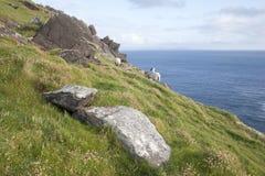 Πρόβατα στο κεφάλι Slea, Dingle χερσόνησος Στοκ εικόνα με δικαίωμα ελεύθερης χρήσης
