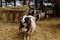 Πρόβατα στο κλουβί Στοκ Φωτογραφία