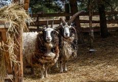 Πρόβατα στο κλουβί Στοκ Φωτογραφίες