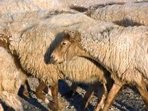 Πρόβατα στο κοπάδι στοκ εικόνες