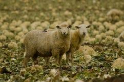 Πρόβατα στο κουνουπίδι Στοκ φωτογραφία με δικαίωμα ελεύθερης χρήσης