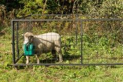 Πρόβατα στο κλουβί Στοκ Εικόνα