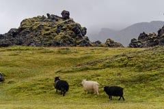 Πρόβατα στο λιβάδι στην Ισλανδία Στοκ εικόνες με δικαίωμα ελεύθερης χρήσης