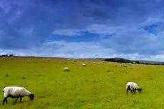 Πρόβατα στο λιβάδι Στοκ φωτογραφία με δικαίωμα ελεύθερης χρήσης