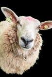 Πρόβατα στο Μαύρο Στοκ φωτογραφία με δικαίωμα ελεύθερης χρήσης
