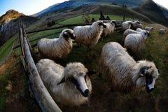 Πρόβατα στο ναυπηγείο Στοκ φωτογραφία με δικαίωμα ελεύθερης χρήσης