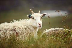 Πρόβατα στο νησί Runde στοκ εικόνες με δικαίωμα ελεύθερης χρήσης