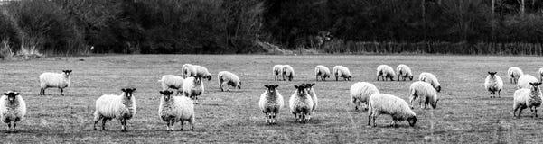 Πρόβατα στο πεδίο Στοκ Φωτογραφία