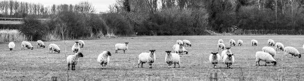 Πρόβατα στο πεδίο Στοκ Φωτογραφίες