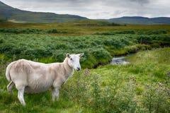 Πρόβατα στο δρόμο στοκ εικόνα