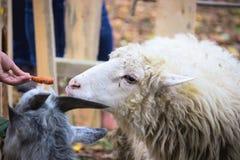 Πρόβατα στο τέλος του φθινοπώρου Στοκ Φωτογραφίες