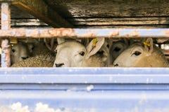 Πρόβατα στο φορτηγό μεταφορών στοκ εικόνα με δικαίωμα ελεύθερης χρήσης