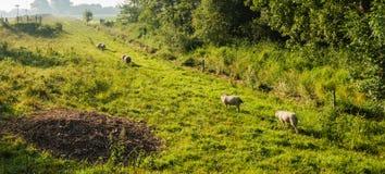 Πρόβατα στο φως ξημερωμάτων Στοκ Εικόνες