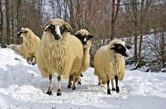 Πρόβατα στο χιόνι Στοκ φωτογραφίες με δικαίωμα ελεύθερης χρήσης
