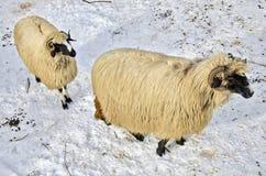 Πρόβατα στο χιόνι Στοκ Εικόνες