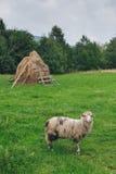 Πρόβατα στο χορτοτάπητα Στοκ φωτογραφίες με δικαίωμα ελεύθερης χρήσης