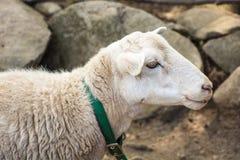 Πρόβατα στο petting ζωολογικό κήπο Στοκ Εικόνα
