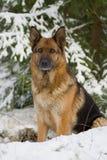 πρόβατα της Γερμανίας σκυλιών Στοκ φωτογραφία με δικαίωμα ελεύθερης χρήσης