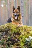 πρόβατα της Γερμανίας σκ&upsilon Στοκ Φωτογραφία