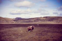 Πρόβατα της Ισλανδίας Στοκ Εικόνες