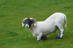 πρόβατα της Σκωτίας Στοκ Εικόνα