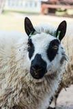 Πρόβατα της Panda που εξετάζουν τη κάμερα στοκ φωτογραφία με δικαίωμα ελεύθερης χρήσης