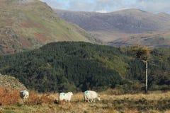 πρόβατα τοπίων Στοκ φωτογραφίες με δικαίωμα ελεύθερης χρήσης