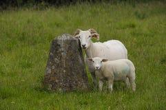 Πρόβατα τοποθέτησης Στοκ φωτογραφία με δικαίωμα ελεύθερης χρήσης
