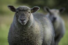 Πρόβατα του Γιορκσάιρ με τα αυτιά που τσιμπούνται Στοκ Φωτογραφίες
