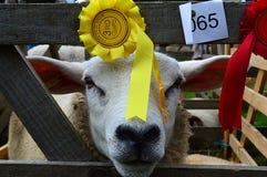 Πρόβατα του Γιορκσάιρ Στοκ εικόνα με δικαίωμα ελεύθερης χρήσης