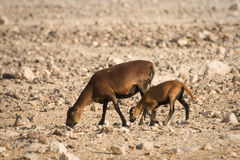 πρόβατα του Καμερούν μωρών Στοκ φωτογραφία με δικαίωμα ελεύθερης χρήσης