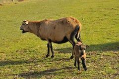 Πρόβατα του Καμερούν Στοκ Εικόνες